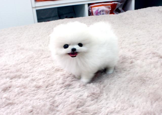 Fwd: QQQwRegalo Cachorros Pomerania Para Adopcion