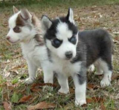 Regalo Cachorros Husky Siberiano Macho y Hembra Para Su Adopción