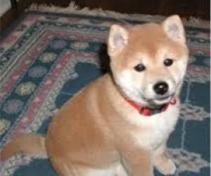 gratis Shiba inu cachorritos para adopcion