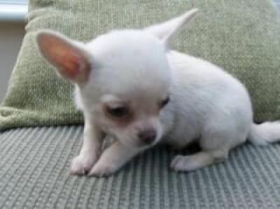 Regalo Dos chihuahua cachorros Para adoptcion