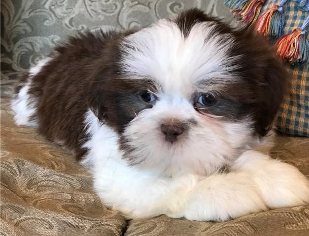 regalo cachorros Shih Tzu
