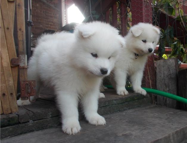 Regalo cachorros samoyedo