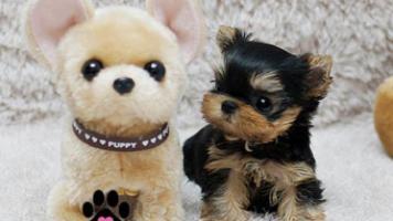 Regalo mini yorkshire terrier toy cachorros gratis