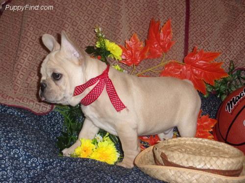 Magníficos Cachorros Bulldog Frances disponibles