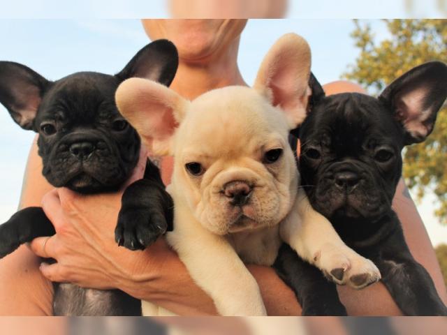 Regalo Cachorros Bulldog Francés para adopción.