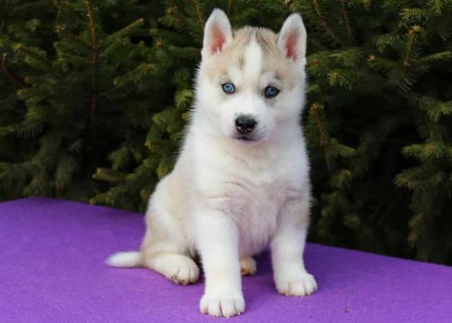 REGALO Husky Siberiano Cachorros Magníficos