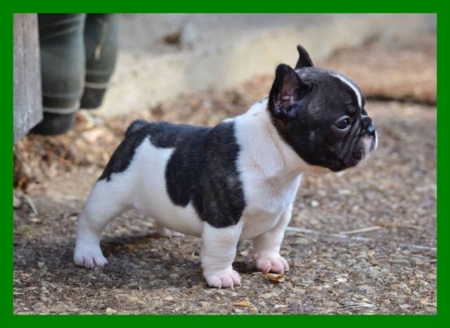 Cachorro de bulldog inglés para adopción libre, Argensola