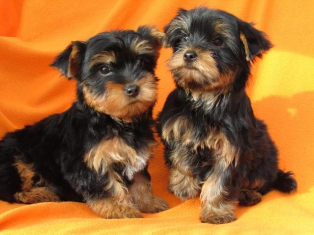 Regalo cachorros Yorkshire terrier mini 2 cachorros Macho y Hembr