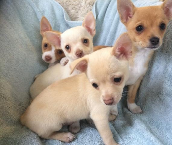Perritos encantadores chihuahua