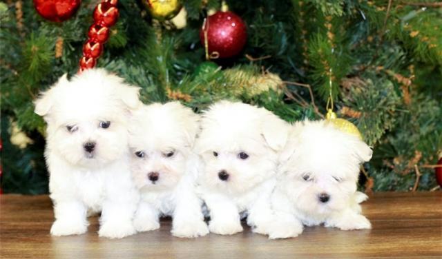 regalo Bichon Maltes encantador Disponibles Para Su Adopción