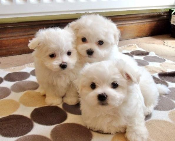 Regalo Cachorros Bichón Maltés Mini Toy Para Su Adopcion