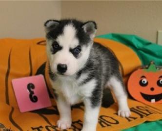 mejores cachorros de husky siberiano gratis