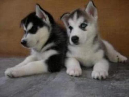 Regalo macho y hembra Husky cachorros
