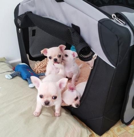 REGALO 12 semanas de edad adorable cachorros de Chihuahua