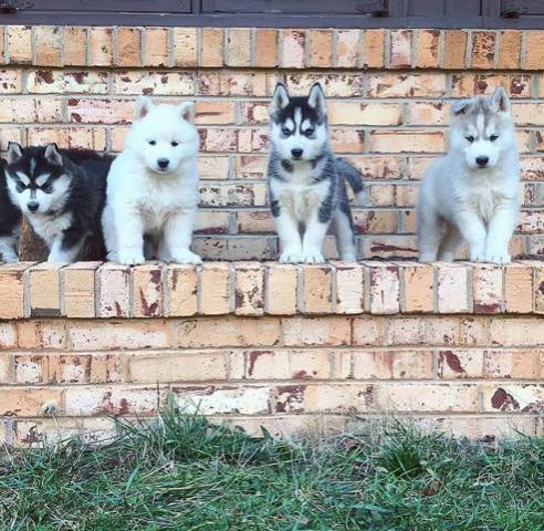 Regalo Casa tren Husky Siberiano Para Su Adopción 100%