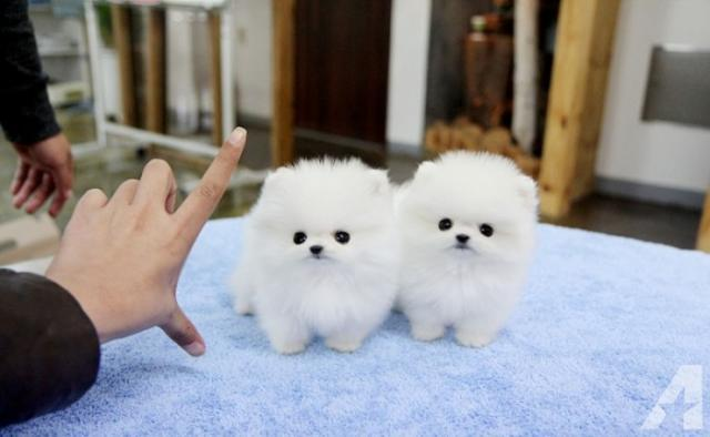 REGALO Preciosos Cachorros de Pomerania mini toy