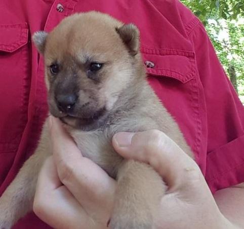 cachorros shiba inu para adopción gratuita