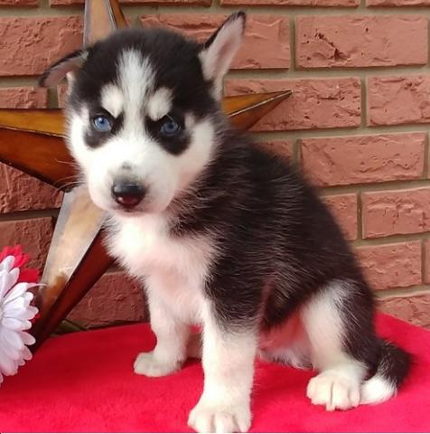 Regalo adorables siberian husky cachorros en adopcion