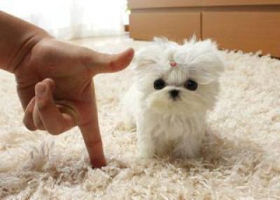 Regalo Casa tren Pomerania mini juguete Para Su Adopción