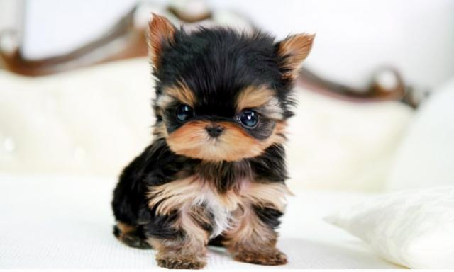 Regalo mini yorkshire terrier cachorros toy gratis