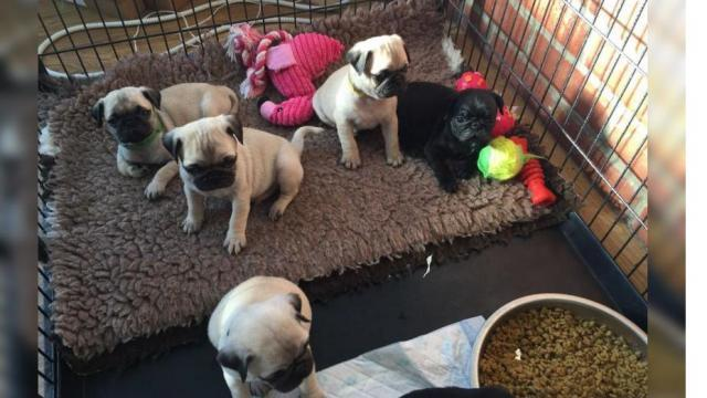 REGALO Súper adorables cachorros Pug Carlino