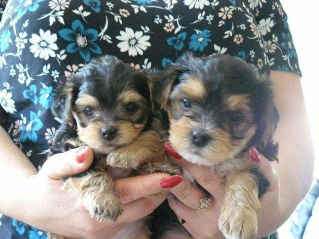 Teacup Yorkie Puppies, Super Tiny y cachorros muy asequibles.