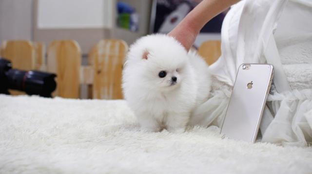 Regalo Preciosos Cachorros pomeranian