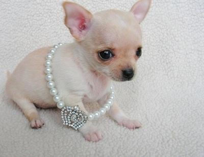 Regalo lindo chihuahua cachorros mini toy
