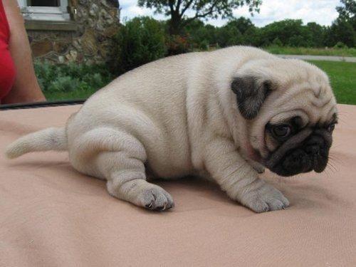Regalo hermosas cachorros pug carlino