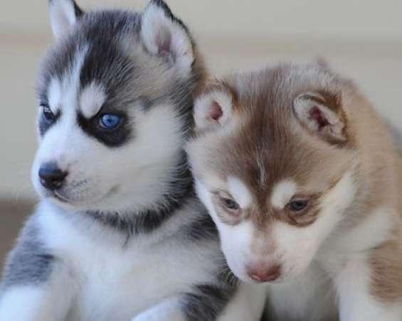 Regalo camada de preciosos siberian husky cachorros