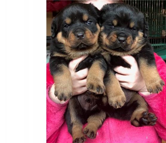 Regalo macho y hembra Rottweiler cachorros