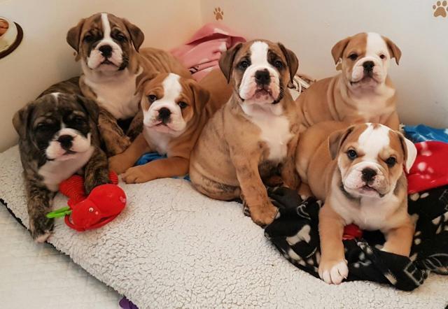 Estupendos cachorros de bulldog ingles
