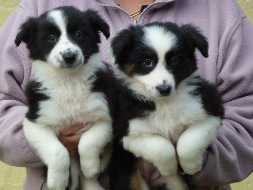 cachorros border collie disponibles