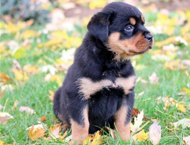 Cachorros Rottweiler de calidad excepcional