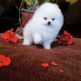 Regalo Cachorros Pomeranian Mini Toy