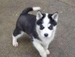 REGALO Husky Siberiano Para Adopción
