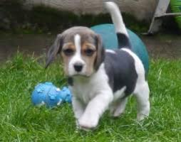 REGALO Cachorros Beagle disponibles ahora listos....