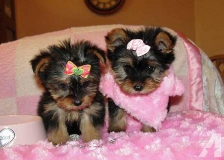 Regalo cachorros yorkshire Terrier mini toy4