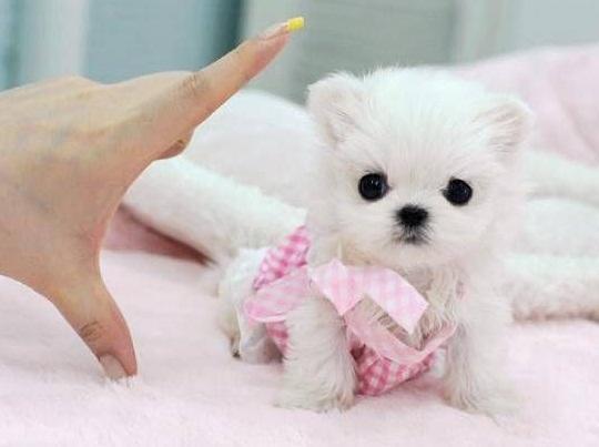 Regalo Cachorros Bichon Maltese Mini