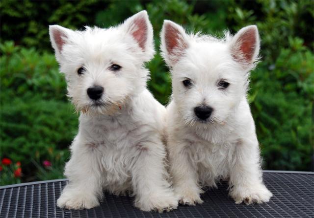 Regalo Cachorros WESTY Terrier Para Su Adopcion!
