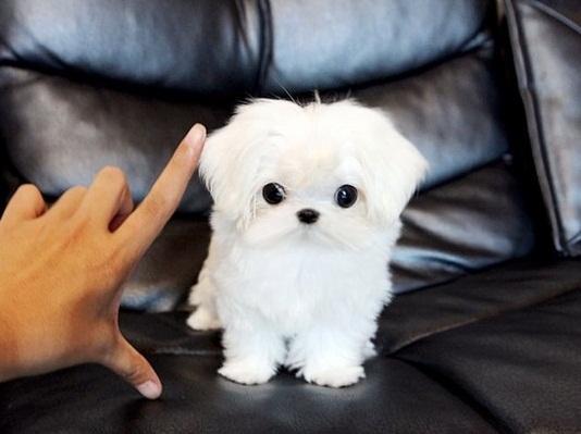 Regalo Cachorros Bichon Maltese Mini Toy