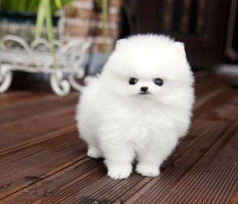 Regalo Cachorros Pomeranian Macho y Hembra