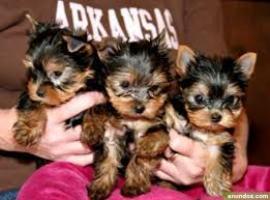 Regalo Preciosos Cachorros de Yorkshire Mini Toy Para Su Adopción