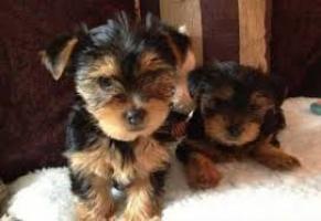 encantador adorable yorkie cachorro macho y hembra para su aproba