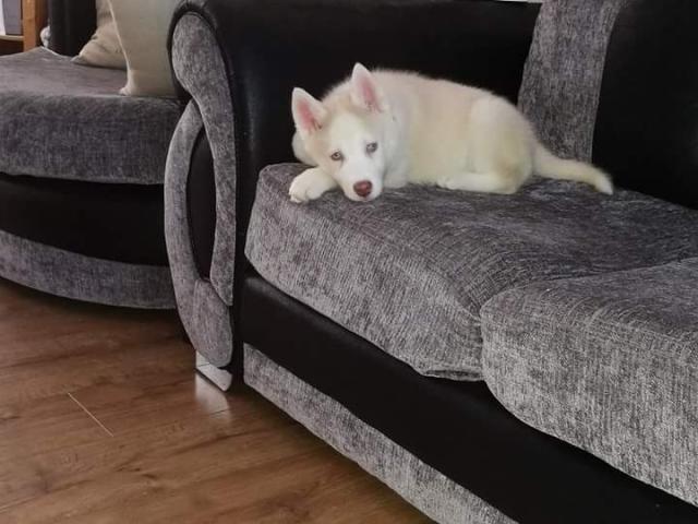 Dulces cachorros Siberian Husky