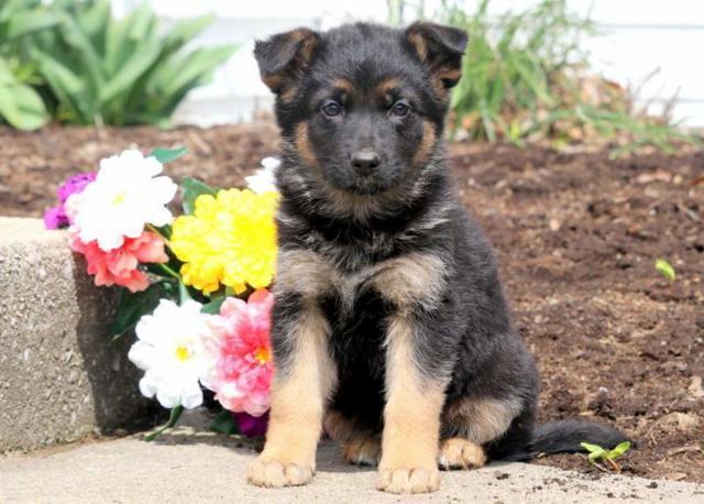Regalo inteligente pastor alemán cachorros para la adopción.