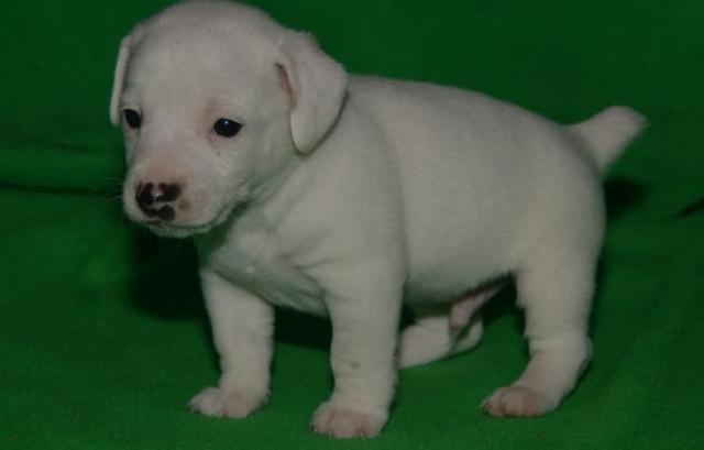Disponibles cachorros de Jack Russell Terrier