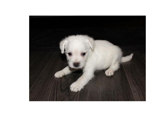 cachorro chihuahua capa lisa