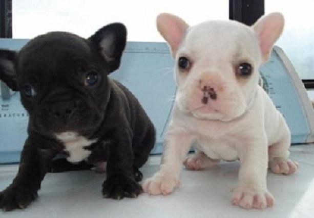 Regalo Bonitos cachorros de bulldog frances para la adopcion