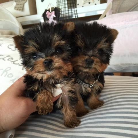 Regalo toy cachorros yorkshire terrier (yorkie)